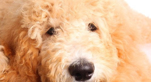 goldendoodle dog 101