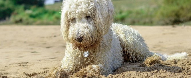 goldendoodle beach ball