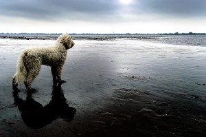 goldendoodle outdoors