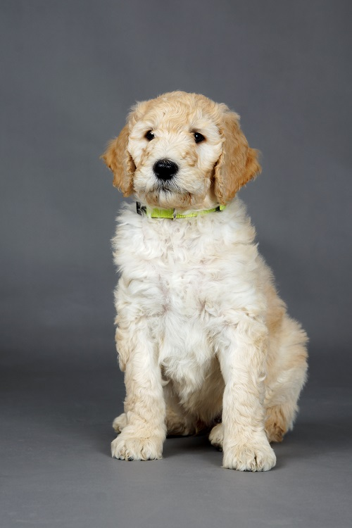Heres What You Need To Know About Your Goldendoodles Behavior