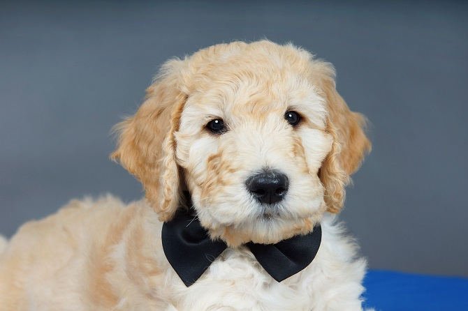 Here S How To Give Your Goldendoodle An Awesome Winter