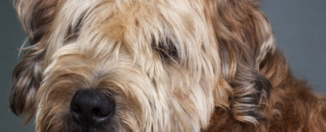 goldendoodle eye care