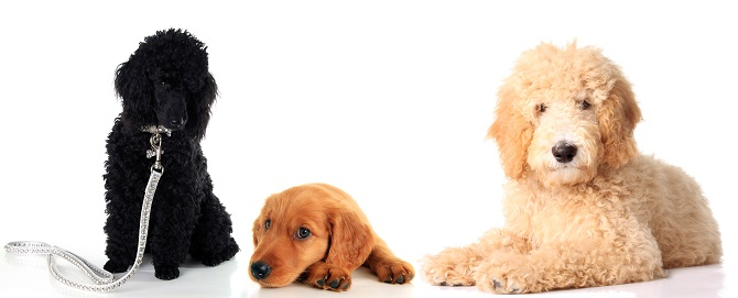 choosing a goldendoodle breed