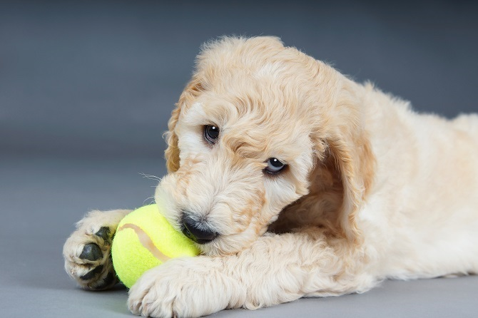 tips to get goldendoodle toys