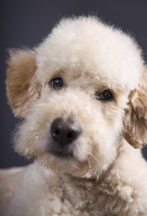 teddy bear goldendoodles