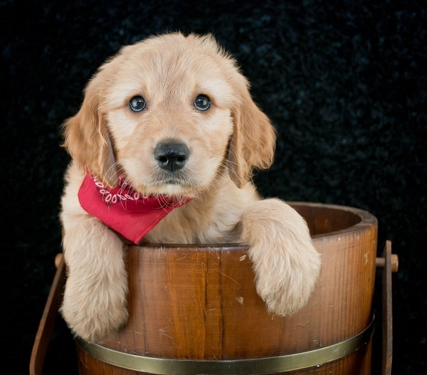 goldendoodles and allergies