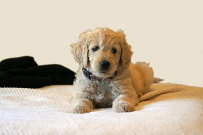 Goldendoodles 101 amazing stories