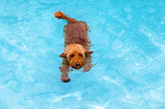 End The Summer On A Highnote For Your Goldendoodle