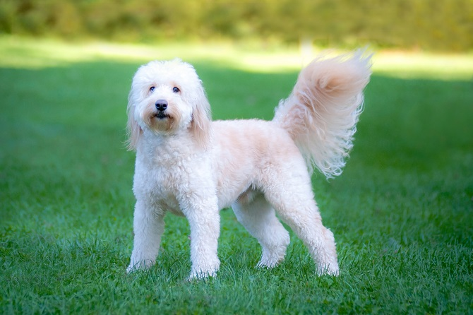 Helpful Reminders For Goldendoodle Hair Care